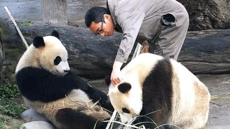"""熊猫""""蔓越煤""""不吃苹果, 被奶爸点头批评"""