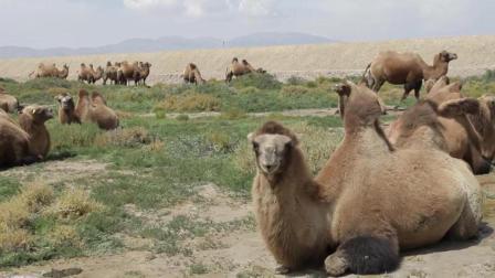 青藏线到茶卡盐湖遇到老朋友, 带我们骑摩托车去草原抓兔子