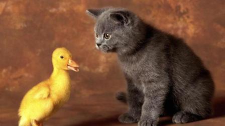 猫咪母爱泛滥, 收养了一窝小鸭子, 像亲儿子一样照顾
