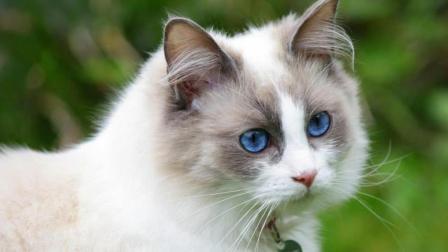 怪不得这么多人甘愿当布偶猫的铲屎官, 原来它有这么多猫格魅力