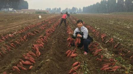 红薯亩产上万斤, 这项种植技术别忽视, 农户现在就要做了