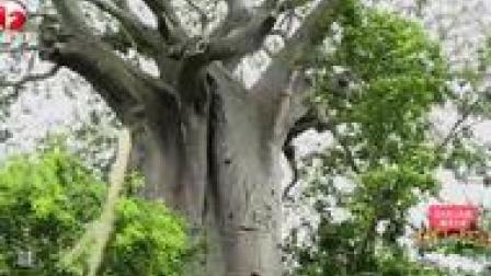 超级猴面包树!姚迪用树取水,在非洲丛林野地生存也是拼了……