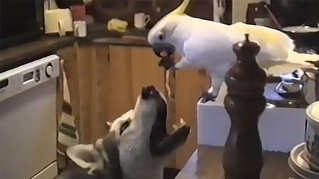 鹦鹉偷面条给狗吃 这就是真爱吗