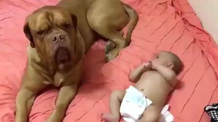 为了照顾好小主人, 汪星人真是操碎了心呐, 波尔多犬照顾小宝宝, 温馨的一幕