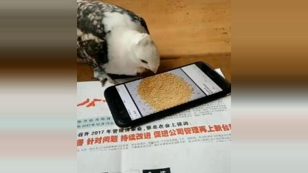 小鹦鹉太可爱了, 错把图片当美食, 就想问嘴疼不