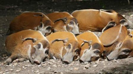 非洲红河猪泛滥成灾, 该出手时就出手, 该中国大军出场啦