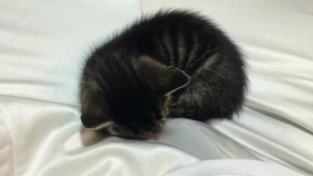 这小奶猫也太粘人了, 自己窝不睡, 偏要爬主人床上睡觉
