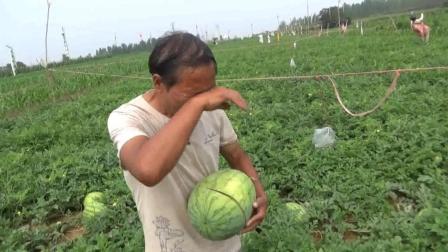 2万多斤西瓜一夜之间全部被砍烂, 瓜农痛哭: 全家希望破灭