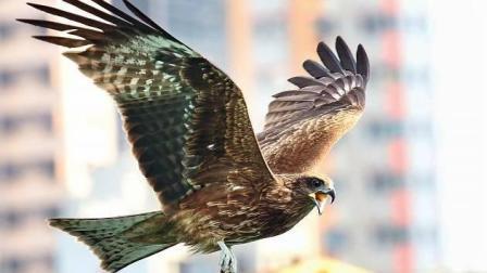 空中霸王老鹰 侵入扇尾渡鸦的领空被驱赶 鹰空中360度翻转