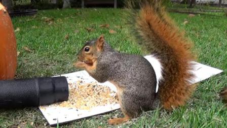 老外用鼓风机捉弄松鼠, 光看这身手就知道松鼠好功夫!