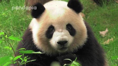 大熊猫星繁梅兰钓猫, 梅兰表示: 奶爸你喊肉肉, 肉肉是谁?
