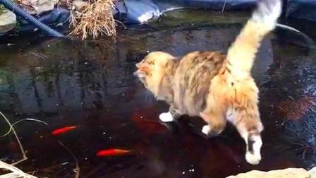 猫咪看见冰下的鱼兴奋的上了冰, 结果丑态百出也没吃到鱼!