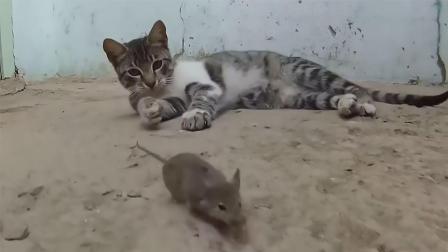 芒果撞地球 家猫遇见老鼠会如何样