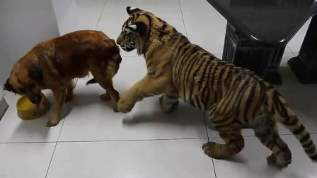 老虎跟狗一起养大, 长大后老虎成了这怂样, 王者气质全无