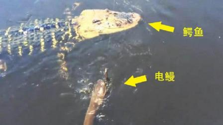 鳄鱼河里大战电鳗, 一口咬住电鳗要害, 下一秒肠子都悔青了