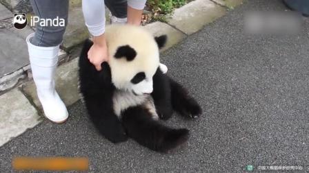 大熊猫宝宝趁机想跑路, 被奶妈抓住耍赖不肯走, 奶妈只好拎着回去