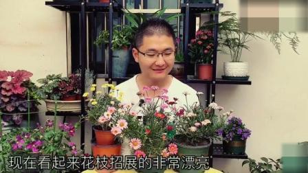 玛格丽特开花了, 便宜又好养, 才两个月就开爆花盆