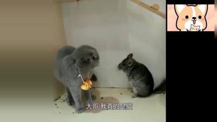 搞笑! 当蓝猫遇上龙猫, 龙猫: 大哥我也是猫, 真的没你!