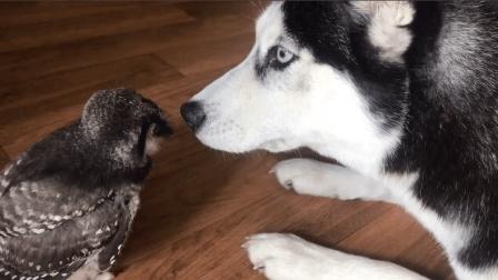 哈士奇狗狗恋上了一只小鸡宝宝, 这种族跨越的有点大啊!