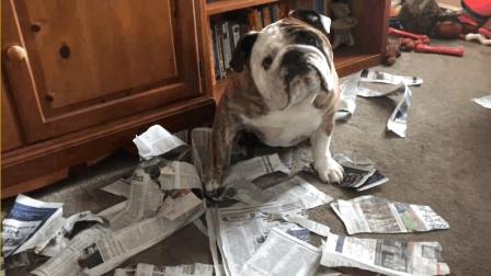主人光知道看报纸都不和斗牛犬玩了, 斗牛犬怒了, 直接就开撕了