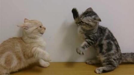为什么猫咪打架时, 总喜欢扇巴掌?
