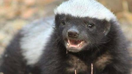 平头哥天不怕地不怕, 唯独怕得罪这种动物, 据说是蜜獾唯一老相好