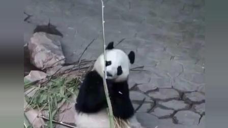 熊猫: 总是说我卖萌, 给你们表演一下我的铁头功