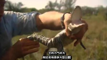 贝爷在沼泽, 发现鳄鱼窝, 抓到一只小鳄鱼!