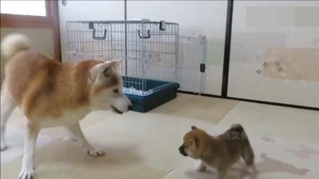主人带回一只新小狗, 柴犬在它面前充大哥