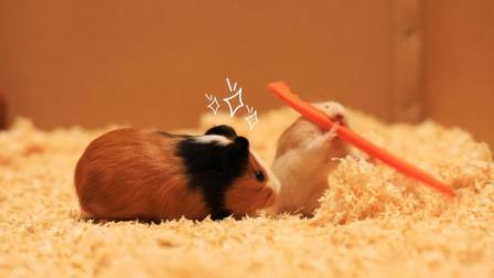仓鼠抢小白鼠胡萝卜还臭显摆, 现实马上打脸, 还是怂能维持生活!