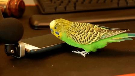 这只鹦鹉太有灵性了, 还能手机对话!
