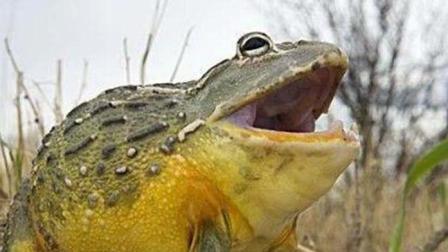 可怕的牛蛙无所不吃, 连小鳄鱼都照吞不误
