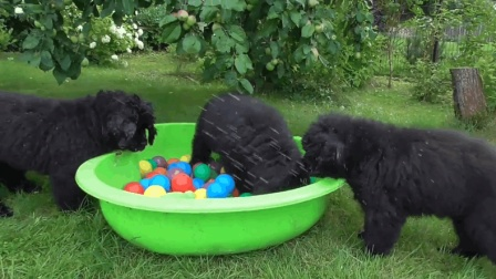 家里养了3只纽芬兰犬, 就跟家里养了3个熊孩子似的, 让人哭笑不得