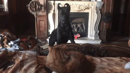 贪玩的大丹犬, 想和猫咪一起玩耍, 贪睡的猫咪都不愿搭理大丹犬