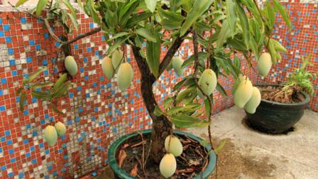 把芒果核扔花盆里, 过几天就能长出漂亮的盆栽!