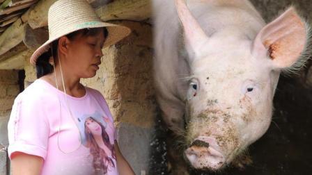 农村大妈自娱自乐与猪对山歌, 光这头猪的配音都让网友笑喷