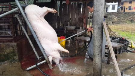 农村小伙杀一头300斤年猪, 一半要孝敬丈母娘, 这女婿咋样?
