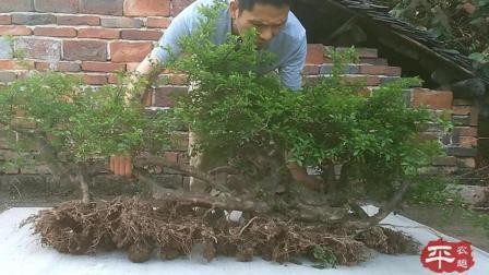 这颗连体雀梅盆景桩, 养护了三年, 才成这样子