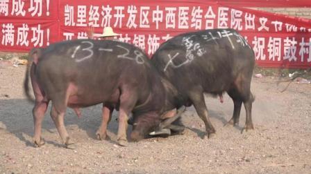 贵州牛王争霸赛, 我们什么都不会, 就会打你来个龙摆尾