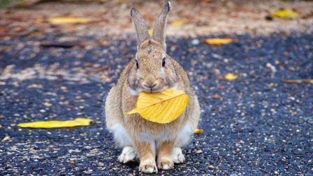 现实版萌宠乐园兔子岛, 拥有上千只兔子, 曾是全球最致命的小岛