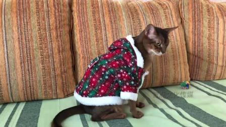 主人让猫咪穿花衣裳, 猫咪的内心是拒绝的, 眼神是亮点