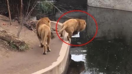 脸丢大了! 一只狮子水池边阔步走, 不料掉水里了