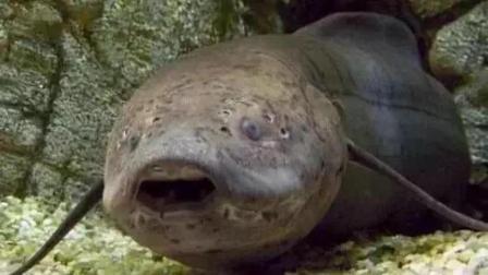 世界上最难死的鱼, 在42℃的沙漠下没水也能活4年, 唯有一种敌人