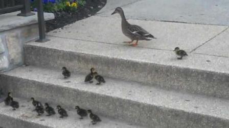 鸭妈妈带小鸭子上台阶, 告诉我们: 学会放手, 让孩子自己思考
