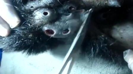 猩猩身体被超大寄生虫寄生, 兽医一个个拔出
