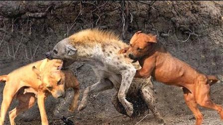 藏獒、比特犬、鬣狗, 谁是战斗力最强的犬王? 比比才知道