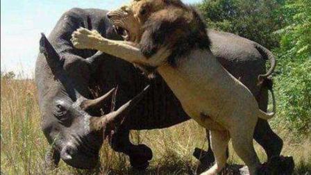 狮子作死去挑衅熟睡的犀牛, 结果活吃犀牛!