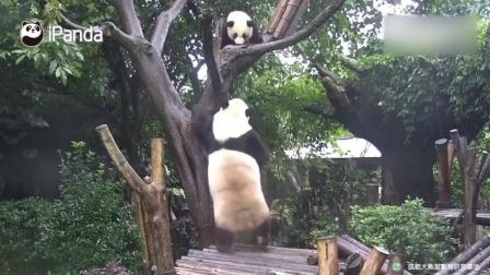 两只大熊猫宝宝惹怒妈妈, 被妈妈把宝宝当玩具摔, 逃到树上也没用