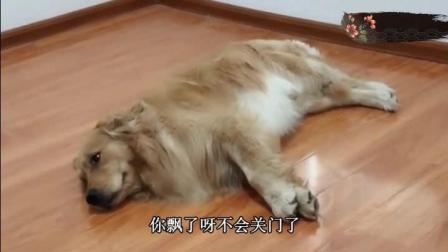 屋里开空调主人让金毛去把门关了, 金毛躺那我才不去一说给火腿!