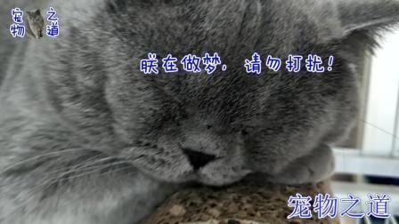 公猫跟猫宝宝玩累了, 一趴下就打起了呼噜, 这呼噜声太有感染力了